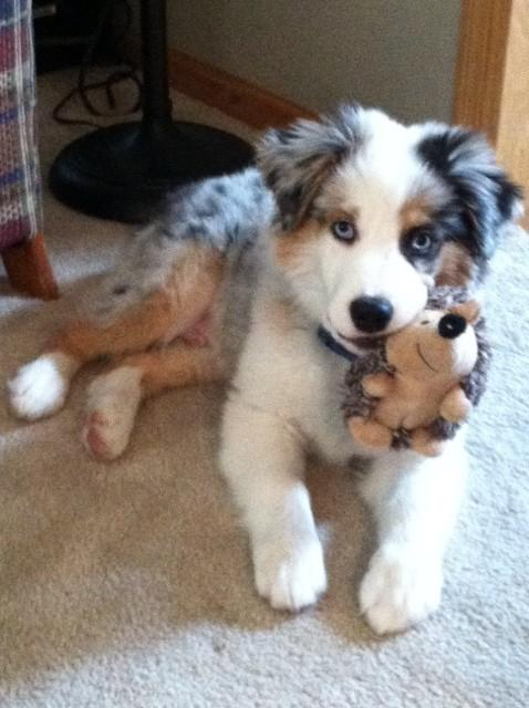 Puppy Toys For 10 And Up : Aussie puppy gallery
