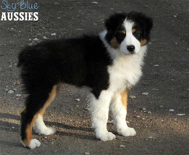 Australian Shepherd Picture And Images