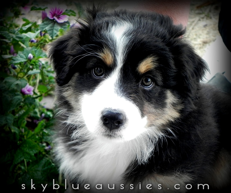 Australian Shepherd Dog Breed Information Pictures