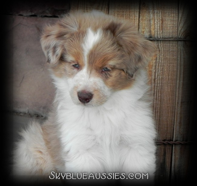 Australian Shepherd Colors - Aussie Color Chart